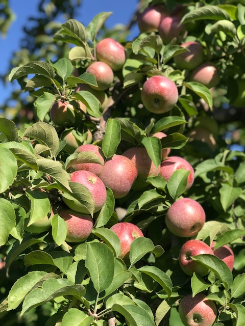 2018 PYO Apple Season