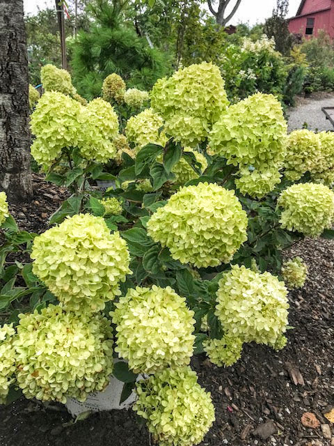 The Hydrangeas – A Windy Hill Farm Specialty, August 21, 2019